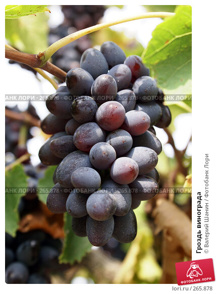 Гроздь винограда, фото № 265878, снято 24 сентября 2007 г. (c) Валерий Шанин / Фотобанк Лори