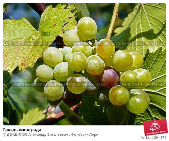 Гроздь винограда, фото № 294374, снято 3 августа 2007 г. (c) ДЕНЩИКОВ Александр Витальевич / Фотобанк Лори