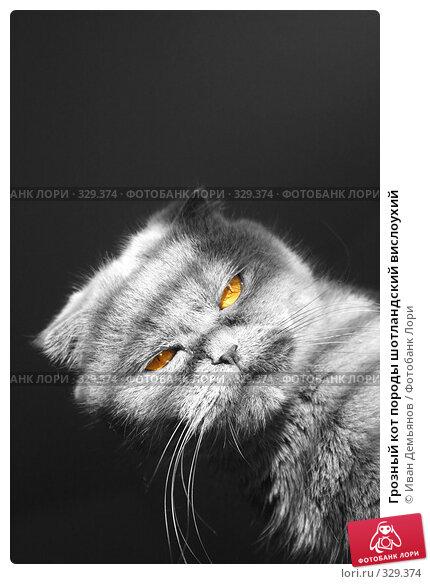 Грозный кот породы шотландский вислоухий, фото № 329374, снято 14 ноября 2007 г. (c) Иван Демьянов / Фотобанк Лори