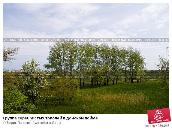 Купить «Группа серебристых тополей в донской пойме», фото № 259066, снято 19 апреля 2008 г. (c) Борис Панасюк / Фотобанк Лори