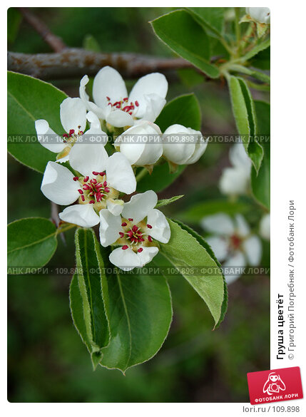 Груша цветёт, фото № 109898, снято 19 мая 2007 г. (c) Григорий Погребняк / Фотобанк Лори