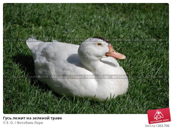 Гусь лежит на зеленой траве, фото № 263706, снято 20 апреля 2008 г. (c) Екатерина Овсянникова / Фотобанк Лори