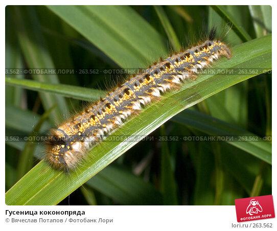 Гусеница коконопряда, фото № 263562, снято 27 мая 2005 г. (c) Вячеслав Потапов / Фотобанк Лори