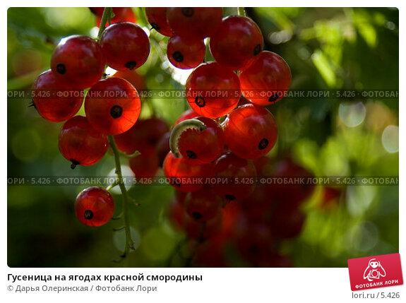 Гусеница на ягодах красной смородины, фото № 5426, снято 31 июля 2005 г. (c) Дарья Олеринская / Фотобанк Лори