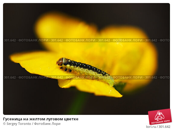 Купить «Гусеница на желтом луговом цветке», фото № 301642, снято 11 мая 2008 г. (c) Sergey Toronto / Фотобанк Лори