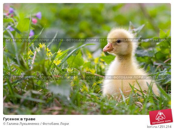 Гусенок в траве, фото № 251214, снято 13 апреля 2008 г. (c) Галина Лукьяненко / Фотобанк Лори