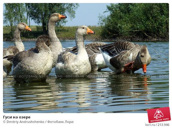 Гуси на озере, фото № 213946, снято 22 августа 2007 г. (c) Dmitriy Andrushchenko / Фотобанк Лори