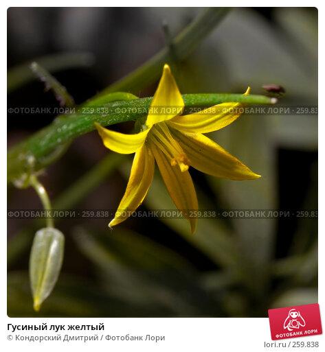 Гусиный лук желтый, фото № 259838, снято 13 апреля 2008 г. (c) Кондорский Дмитрий / Фотобанк Лори
