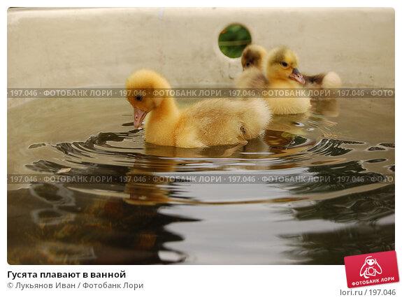 Гусята плавают в ванной, фото № 197046, снято 8 июля 2007 г. (c) Лукьянов Иван / Фотобанк Лори