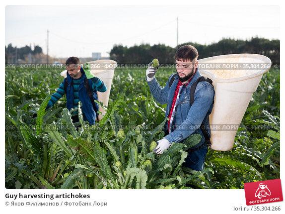Guy harvesting artichokes. Стоковое фото, фотограф Яков Филимонов / Фотобанк Лори
