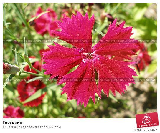 Гвоздика, фото № 177678, снято 8 июля 2006 г. (c) Елена Гордеева / Фотобанк Лори