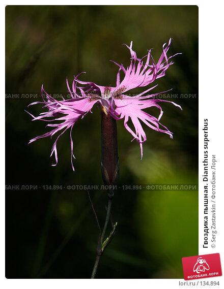 Купить «Гвоздика пышная. Dianthus superbus», фото № 134894, снято 14 августа 2006 г. (c) Serg Zastavkin / Фотобанк Лори