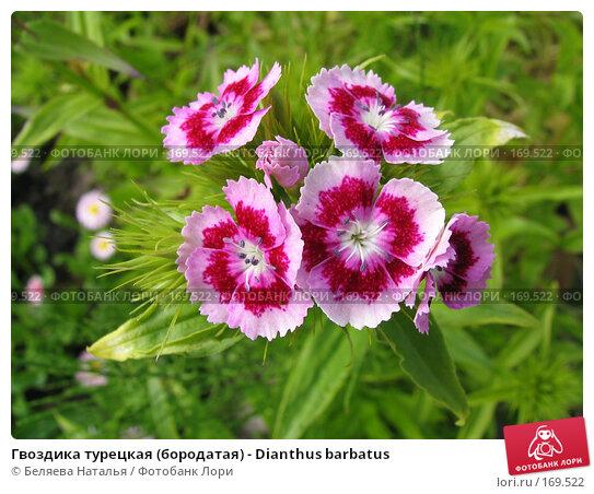 Гвоздика турецкая (бородатая) - Dianthus barbatus, фото № 169522, снято 29 июня 2006 г. (c) Беляева Наталья / Фотобанк Лори