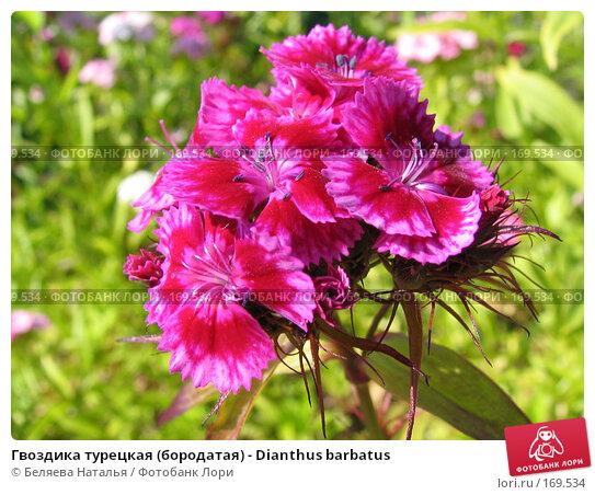 Купить «Гвоздика турецкая (бородатая) - Dianthus barbatus», фото № 169534, снято 8 июля 2006 г. (c) Беляева Наталья / Фотобанк Лори