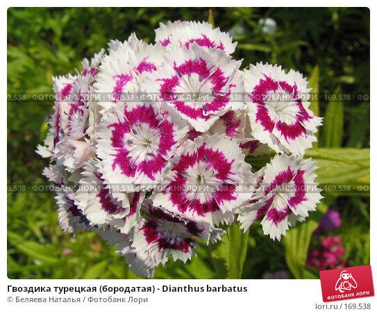 Гвоздика турецкая (бородатая) - Dianthus barbatus, фото № 169538, снято 8 июля 2006 г. (c) Беляева Наталья / Фотобанк Лори