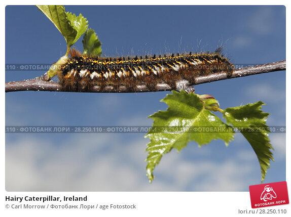 Купить «Hairy Caterpillar, Ireland», фото № 28250110, снято 14 апреля 2017 г. (c) age Fotostock / Фотобанк Лори