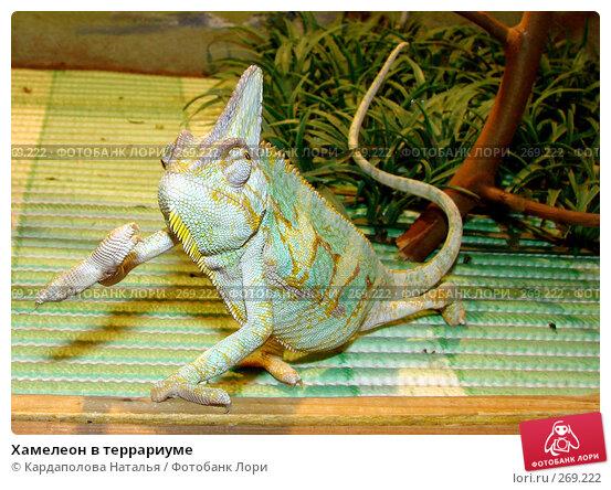 Хамелеон в террариуме, фото № 269222, снято 1 мая 2008 г. (c) Кардаполова Наталья / Фотобанк Лори