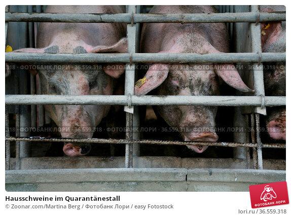 Hausschweine im Quarantänestall. Стоковое фото, фотограф Zoonar.com/Martina Berg / easy Fotostock / Фотобанк Лори