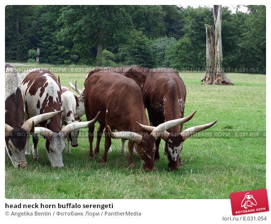 Купить «head neck horn buffalo serengeti», фото № 8031054, снято 21 августа 2018 г. (c) PantherMedia / Фотобанк Лори