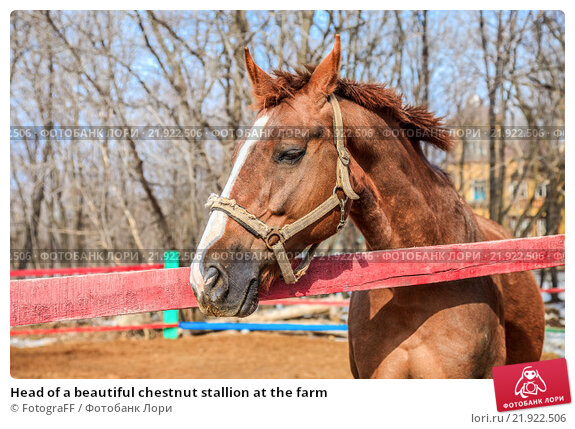 Купить «Head of a beautiful chestnut stallion at the farm», фото № 21922506, снято 21 марта 2019 г. (c) FotograFF / Фотобанк Лори
