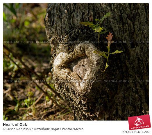 Heart of Oak. Стоковое фото, фотограф Susan Robinson / PantherMedia / Фотобанк Лори