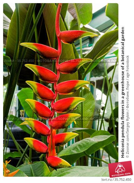 Heliconia pendula flowers in a greenhouse of a botanical garden. Стоковое фото, фотограф Zoonar.com/Sergey Rybin / age Fotostock / Фотобанк Лори