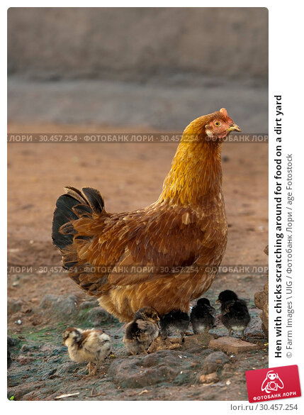 Hen with chicks scratching around for food on a dirt yard. Стоковое фото, фотограф Farm Images \ UIG / age Fotostock / Фотобанк Лори