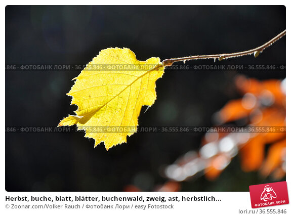 Herbst, buche, blatt, blätter, buchenwald, zweig, ast, herbstlich... Стоковое фото, фотограф Zoonar.com/Volker Rauch / easy Fotostock / Фотобанк Лори