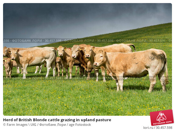 Herd of British Blonde cattle grazing in upland pasture. Стоковое фото, фотограф Farm Images \ UIG / age Fotostock / Фотобанк Лори