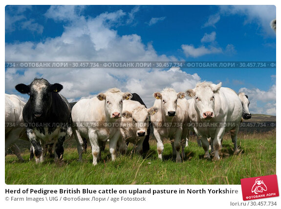 Herd of Pedigree British Blue cattle on upland pasture in North Yorkshire. Стоковое фото, фотограф Farm Images \ UIG / age Fotostock / Фотобанк Лори