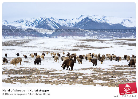 Herd of sheeps in Kurai steppe. Стоковое фото, фотограф Юлия Белоусова / Фотобанк Лори