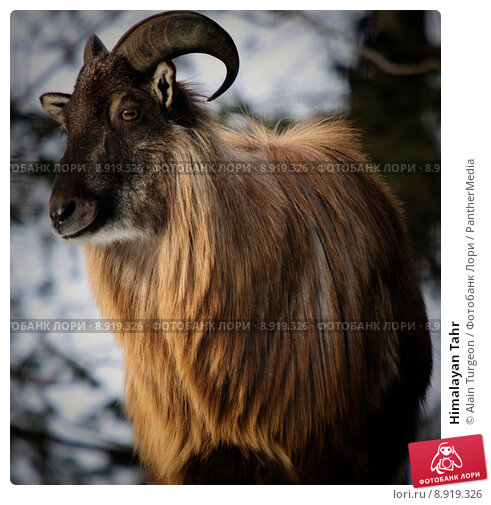 Купить «Himalayan Tahr», фото № 8919326, снято 27 мая 2019 г. (c) PantherMedia / Фотобанк Лори