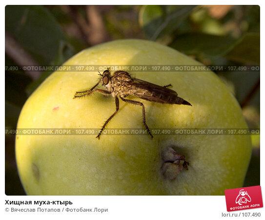 Хищная муха-ктырь, фото № 107490, снято 31 июля 2007 г. (c) Вячеслав Потапов / Фотобанк Лори