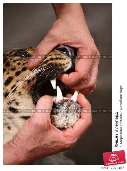 Хищный леопард, фото № 272038, снято 3 мая 2008 г. (c) Морозова Татьяна / Фотобанк Лори