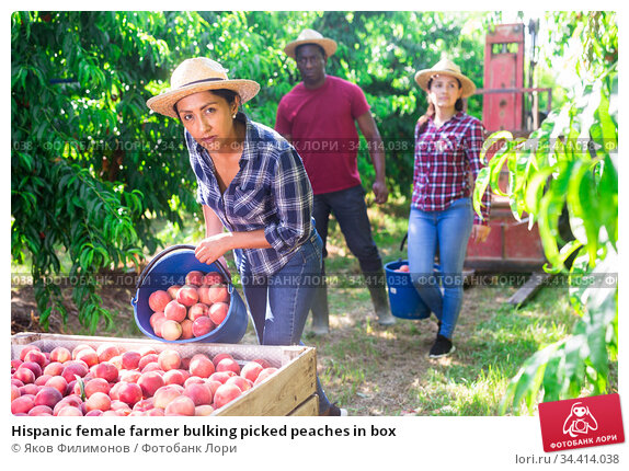 Hispanic female farmer bulking picked peaches in box. Стоковое фото, фотограф Яков Филимонов / Фотобанк Лори