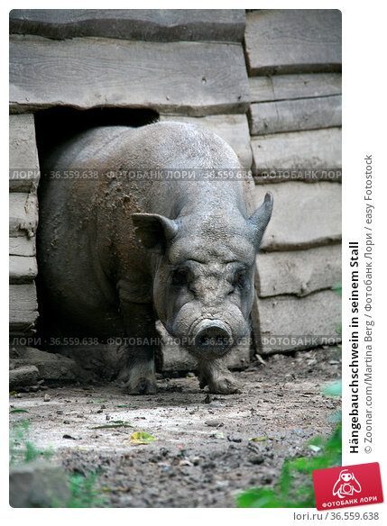 Hängebauchschwein in seinem Stall. Стоковое фото, фотограф Zoonar.com/Martina Berg / easy Fotostock / Фотобанк Лори