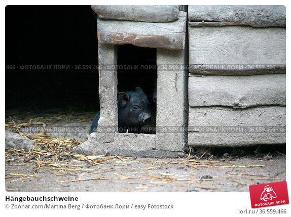 Hängebauchschweine. Стоковое фото, фотограф Zoonar.com/Martina Berg / easy Fotostock / Фотобанк Лори