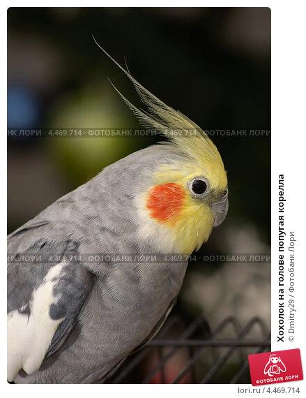 Купить «Хохолок на голове попугая корелла», эксклюзивное фото № 4469714, снято 7 января 2013 г. (c) Dmitry29 / Фотобанк Лори
