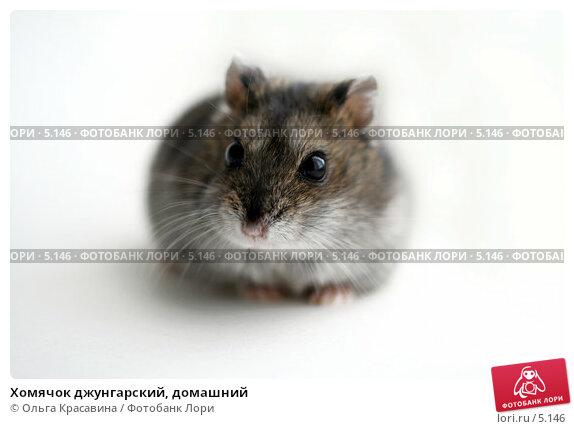 Хомячок джунгарский, домашний, фото № 5146, снято 18 июня 2006 г. (c) Ольга Красавина / Фотобанк Лори