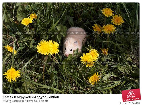 Хомяк в окружении одуванчиков, фото № 134418, снято 26 мая 2006 г. (c) Serg Zastavkin / Фотобанк Лори