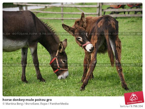 Poitou draft mule