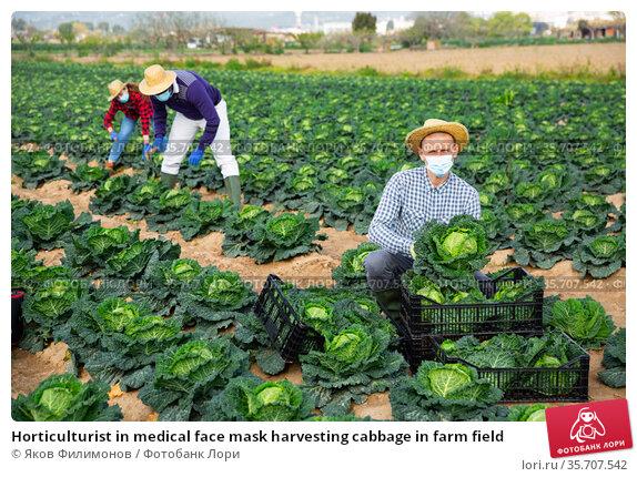 Horticulturist in medical face mask harvesting cabbage in farm field. Стоковое фото, фотограф Яков Филимонов / Фотобанк Лори