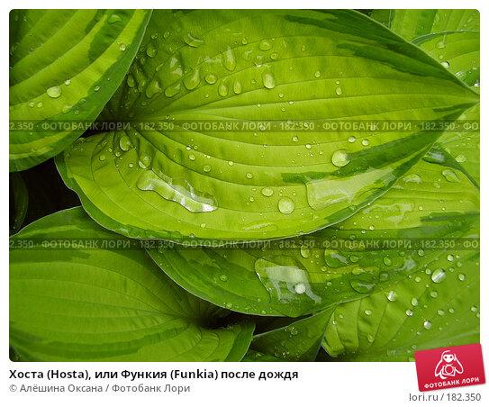 Купить «Хоста (Hosta), или Функия (Funkia) после дождя», эксклюзивное фото № 182350, снято 16 июня 2006 г. (c) Алёшина Оксана / Фотобанк Лори