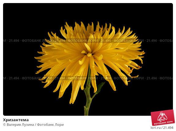 Хризантема, фото № 21494, снято 6 марта 2007 г. (c) Валерия Потапова / Фотобанк Лори