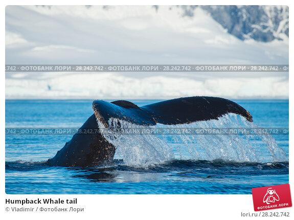 Купить «Humpback Whale tail», фото № 28242742, снято 9 февраля 2018 г. (c) Vladimir / Фотобанк Лори