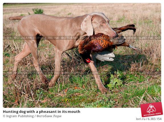 Купить «Hunting dog with a pheasant in its mouth», фото № 6383154, снято 17 февраля 2019 г. (c) Ingram Publishing / Фотобанк Лори