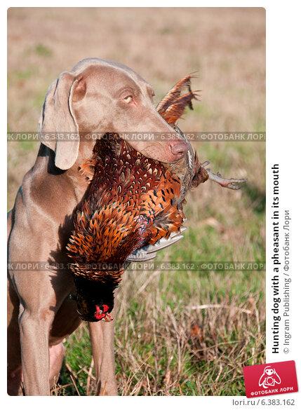 Купить «Hunting dog with a pheasant in its mouth», фото № 6383162, снято 22 марта 2019 г. (c) Ingram Publishing / Фотобанк Лори