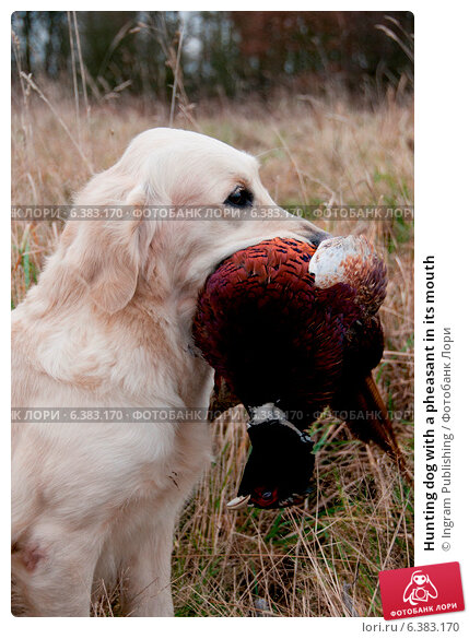 Купить «Hunting dog with a pheasant in its mouth», фото № 6383170, снято 22 февраля 2019 г. (c) Ingram Publishing / Фотобанк Лори