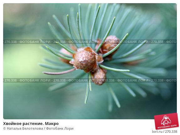 Хвойное растение. Макро, фото № 270338, снято 2 мая 2008 г. (c) Наталья Белотелова / Фотобанк Лори