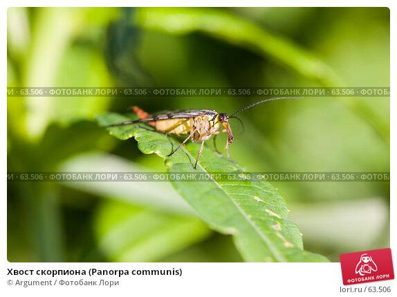 Хвост скорпиона (Panorpa communis), фото № 63506, снято 7 июля 2007 г. (c) Argument / Фотобанк Лори